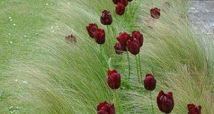 #dunkelrot #Tulpen #Gräser #Kombination #Garten #cool #garden #design #combinat