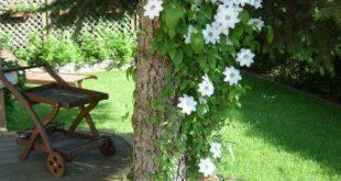 Gartenblumen-Clematis auf Baumdesign-Seite #flower #clematis #garten #gestal